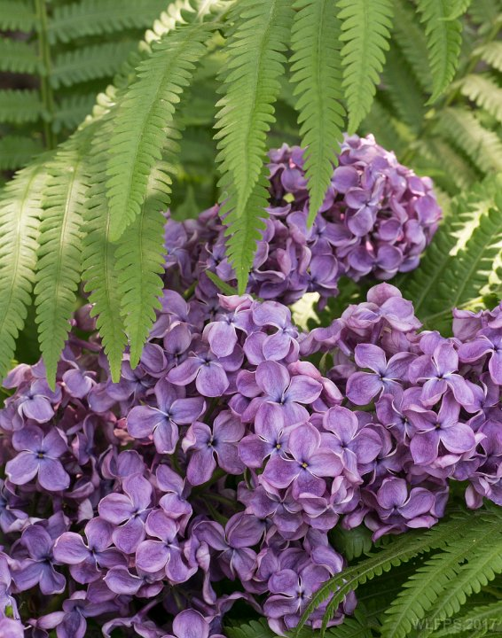 Lavender Lilac by Linda Cardona