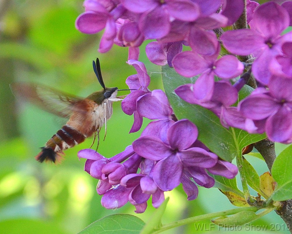 Hummingbird Moth by Mary Weilandt