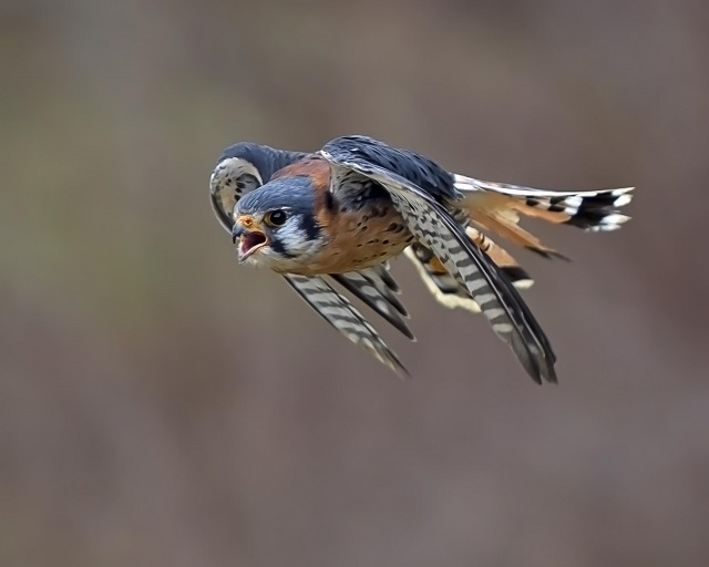 American Kestrel by Karin McDonald