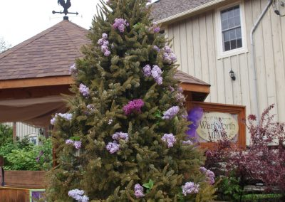 Spruce in Lilac