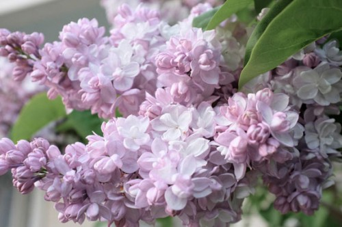 White Lilac Photo by Jennifer Gibson